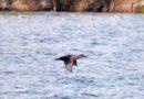 Mazara , Concluso il censimento invernale degli uccelli acquatici