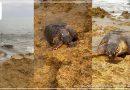 Mazara del Vallo. Avvistata una Tartaruga caretta caretta in balia delle correnti
